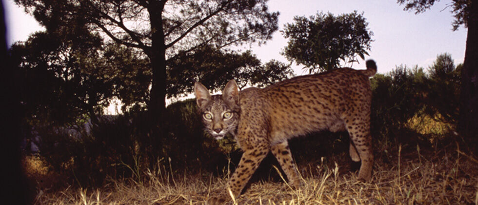 Atropelamentos podem acelerar extinção local de populações de mamíferos